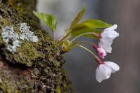 桜の花びら、、、☆彡 - DAIGOの記憶
