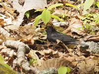 クロツグミの♂と♀ - コーヒー党の野鳥と自然 パート2