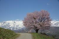 長野 白馬村 野平の一本桜 前半 - 日本あちこち撮り歩記