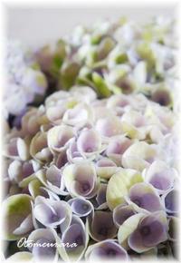 Hydrangea for Mother's Day - 日々楽しく ♪mon bonheur