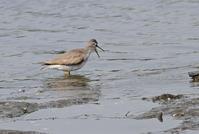 干潟のキアシシギ - ずっこけ鳥撮り日記