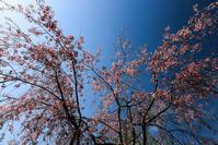 桜追い人 - memory