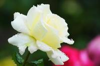 福山バラ公園の薔薇 - 風見鶏日記