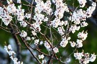平岡公園の梅林 - 今日の鳥さんⅡ