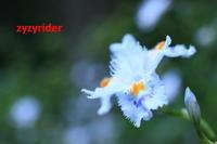 はじめてのシャガの撮影 - ジージーライダーの自然彩彩