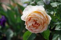 雨上がりの小さなローズガーデンの薔薇たち - 季節の風を追いかけて