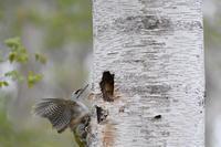 ヤマゲラ  山啄木鳥 - いい男の「歩々是道場」