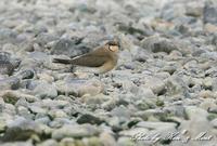 地元で会えた 「ツバメチドリ」さん~Σ^)  至近距離♪ - ケンケン&ミントの鳥撮りLifeⅡ