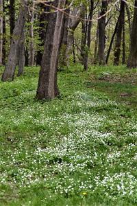 北の森にニリン草が咲き 素敵な風景から - エゾリスと森の仲間たち