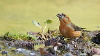 イスカ - 北の野鳥たち