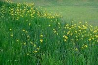黄しょうぶの花 ♪ - Lovely Photo