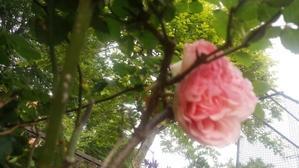 薔薇の季節 - アンのように生きる・・・(老育)