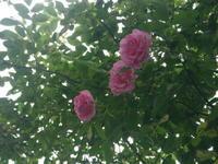 バラが咲きました 5/14 - つくしんぼ日記 ~徒然編~