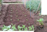 落花生とキュウリの植え付け - 光さんの日常
