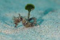 タツノオトシゴの仲間 - Diving Photo