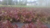 恵みの雨、リーフレタスの収穫始まりました、そして農的ゴールデンウィーク - 畑と笑いと長靴と