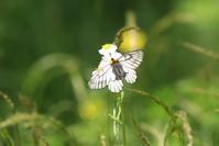 ウスバシロチョウ 見たさに(1) - 野山の住認たちⅡ