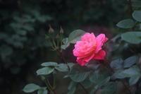 愛は花だと思う - kzking1963 Digital Photo Diary