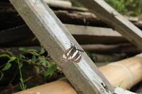 田植えとコミスジと(千葉県松戸市、20170514) - Butterfly & Dragonfly