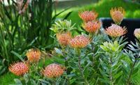 奇跡の星の植物館(4)南半球の花々 - たんぶーらんの戯言