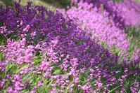 紫色の波間を漂ってみる - 万願寺通信