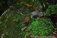 ミソサザイの巣材集め - 気ままな生き物撮り