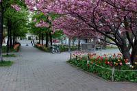 今度は八重桜が咲いてます - なよら風