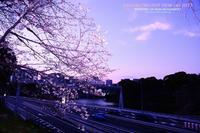 圧倒的桜。2017 - WEEKEND Life Style shirocha0051