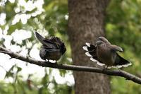 ラブラブなキジバト R18指定 - 野鳥公園