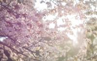 夕刻桜 - ユルリ ユルリト。