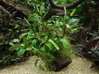 ブセファランドラに木酢液 - 癒しのアクアライフ