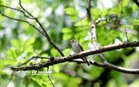 コサメビタキ(小鮫鶲) - azure 自然散策 ~自然・季節・野鳥~