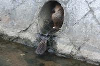 ヌートリアのお母さんと子供達、御手洗川にやってきた(兵庫県西宮市・・・) - 藤田八束の日記