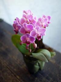母の日に。鉢物のミニ胡蝶蘭。釧路市駒場町に発送。2017/05/14着。 - 札幌 花屋 meLL flowers