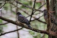 キジバト - 今日の鳥さんⅡ