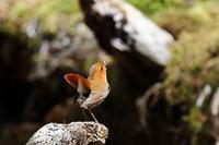 今季の出会い;コマドリ ② - 武蔵野の野鳥
