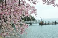 海津大崎の桜と・・やっぱり、美味しいもの!! - a&kashの時間。