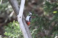アカゲラ    蝦夷赤啄木鳥 - いい男の「歩々是道場」