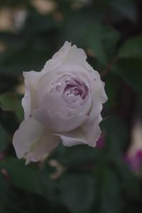 今朝のベランダ(バラの蕾とクレマチス) - お散歩日和ときどきお昼寝