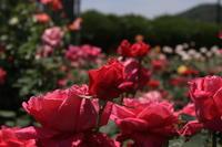 薔薇の香り - k-coの独り言