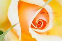 薔薇の波 - for  someone
