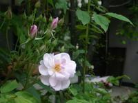 バラのシーズンに 5/15 - つくしんぼ日記 ~徒然編~