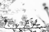 圧倒的桜。2017 - *Any*