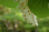 ◆花情報◆ 白雲木(ハクウンボ)の花 - 名鉄犬山ホテル情報