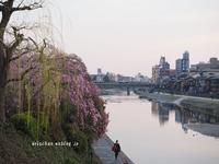 鴨川沿いの桜たち四条~三条界隈♪ - アリスのトリップ