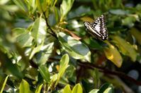 ミカドアゲハ 5月14日 - 超蝶