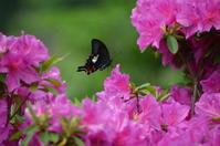 モンキアゲハ 5月14日 - 超蝶