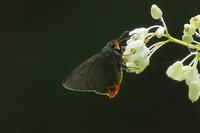 2017年5月14日 久々の裏高尾蝶々撮影 - 蝶・花・山~自然の色使い