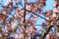 桜とシマエナガ - イチガンの花道
