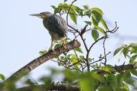 ハマシギ夏羽 - 野鳥写真日記 自分用アーカイブズ